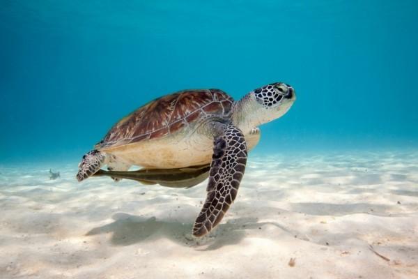 Una tortuga marina nadando sobre un fondo de arena