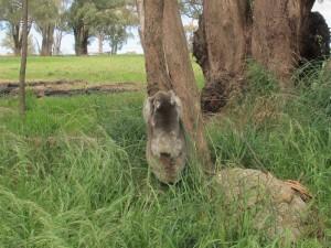 Postal: Koala con su cría trepando a un árbol