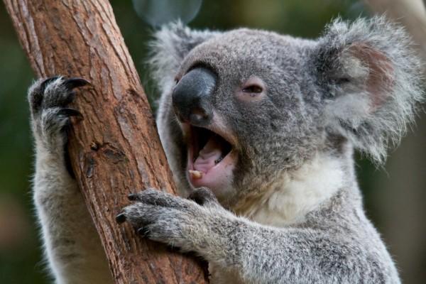 Un koala con la boca abierta