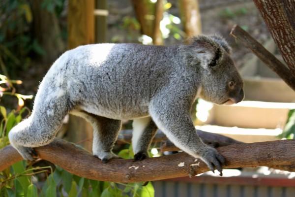 Koala caminando en una rama