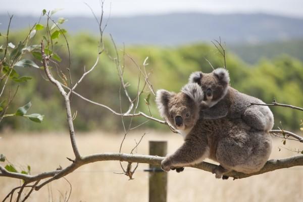 Pequeño koala dormido sobre la espalda de su madre