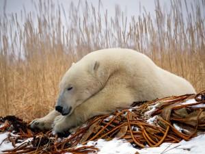 Postal: Oso polar dormido