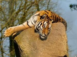 Postal: Tigre descansando en lo alto de una roca