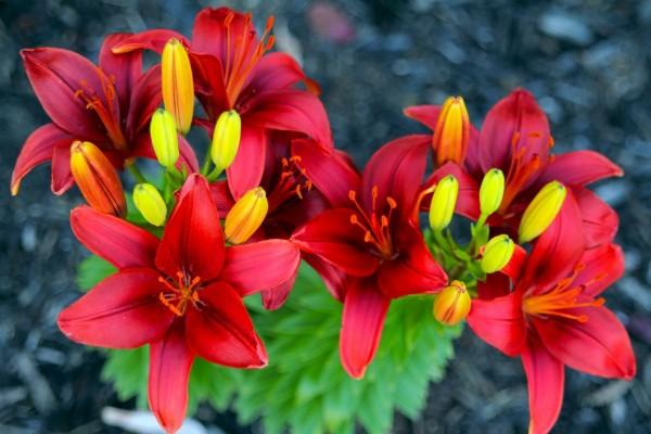 Bellos liliums rojos en la planta
