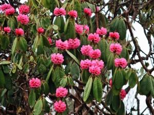 Postal: Hermosas flores rosas en un gran árbol