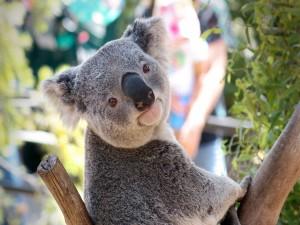 Un koala mostrando su lengua peluda