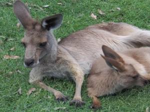 Dos canguros sobre la hierba