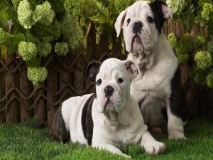 Cachorros de bulldog inglés sentados en la hierba
