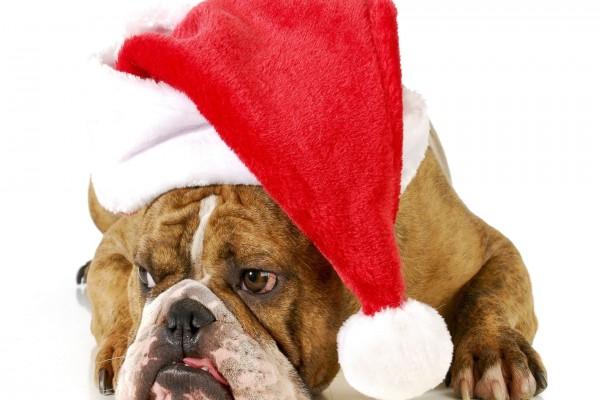 Bulldog Inglés con un sombrero de Santa Claus