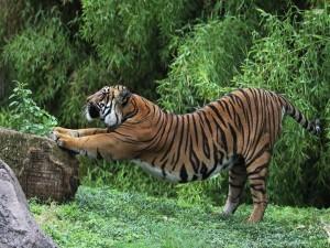 Un tigre estirándose