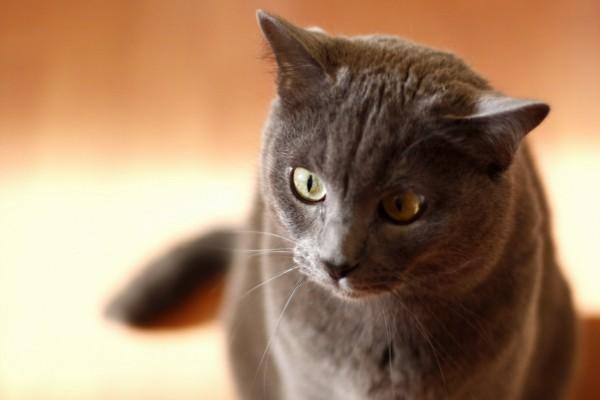 Un hermoso gato gris