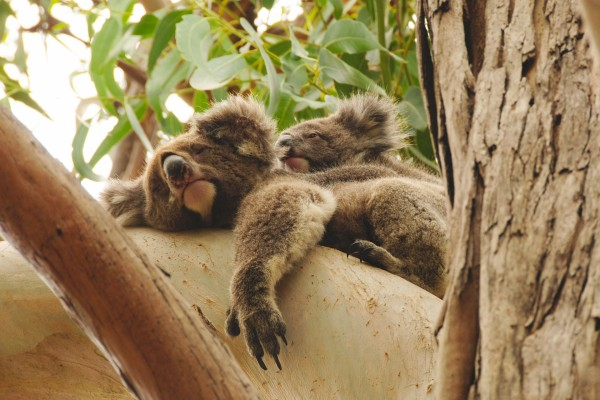 Una koala dormida con su cría a la espalda