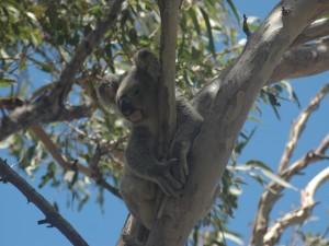 Un solitario koala en lo alto de un árbol