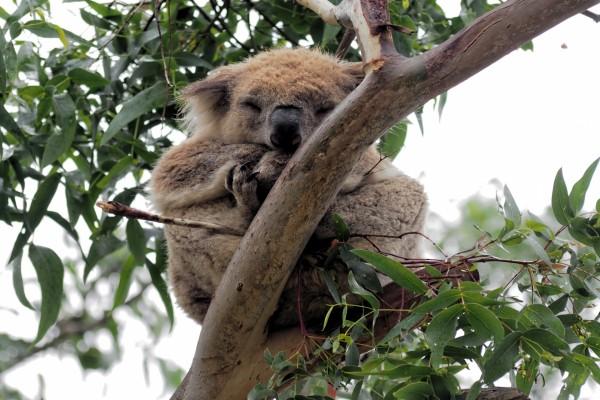 Koala dormido en un árbol