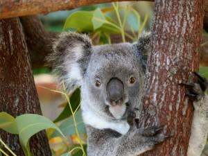Koala con la lengua fuera