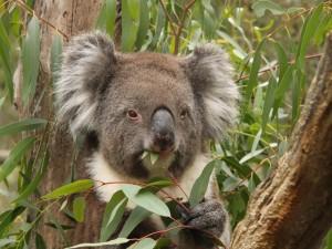 Postal: Koala comiendo hojas de eucalipto