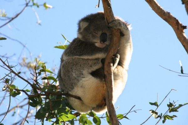 Koala dormido agarrado a una rama