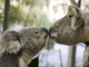 Postal: Amor entre koalas