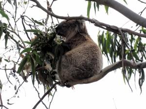 Postal: Koala sobre una rama repleta de hojas