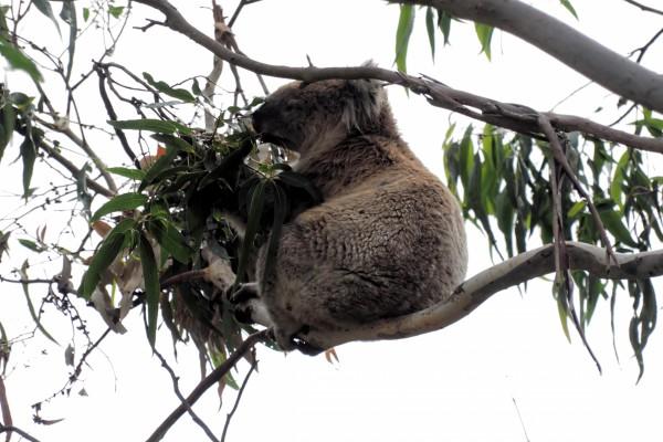 Koala sobre una rama repleta de hojas