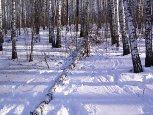 Árbol caído sobre la nieve