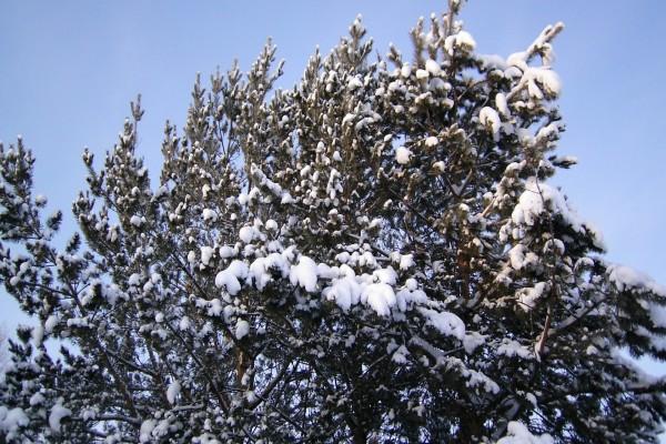 Nieve sobre un árbol