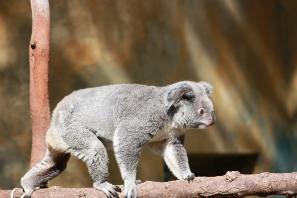 Un koala caminando sobre una rama
