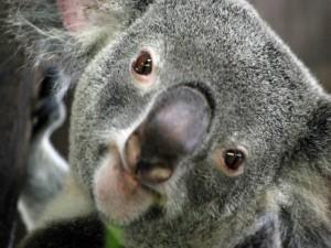 Postal: La cara de un koala