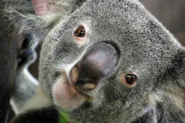 La cara de un koala