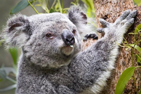 Koala comiendo una hoja