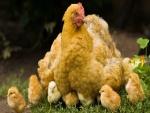 Una gallina cuidando a sus pollitos