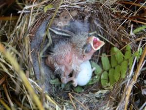 Postal: Un pajarillo recién salido del huevo