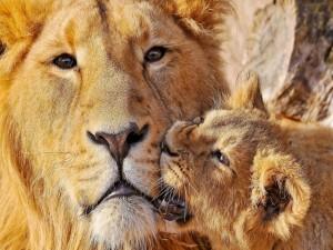 Cachorro mordiendo a un gran león