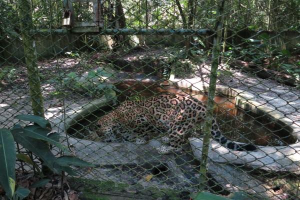 Un leopardo enjaulado