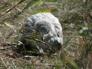 Postal: Ave dormida entre la hierba