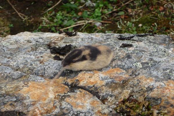 Roedor sobre una roca