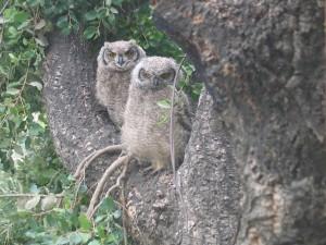 Postal: Dos jóvenes búhos en un árbol