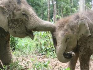 Postal: Elefantes enlazando sus trompas