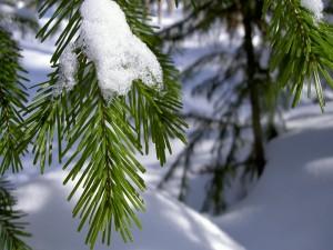 Postal: Nieve en la rama verde de un pino