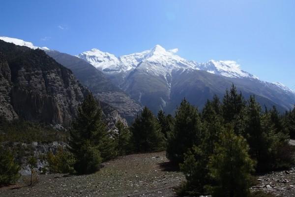 Pinos creciendo bajo las montañas