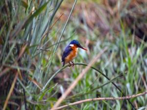 Postal: Martín pescador posado en una brizna de hierba