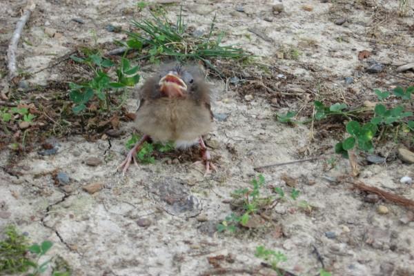 Pajarillo fuera del nido