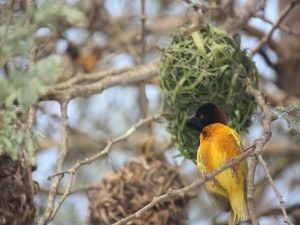 Postal: Bonito pájaro de cabeza oscura y cuerpo amarillo