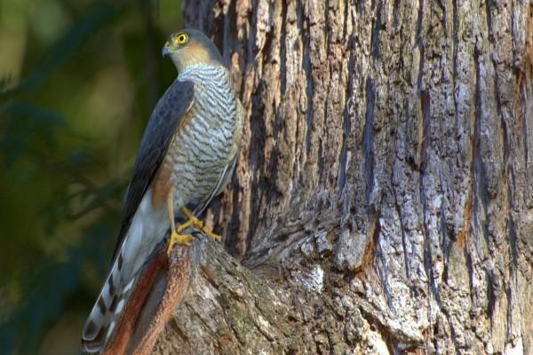 Pequeño halcón posado en un árbol