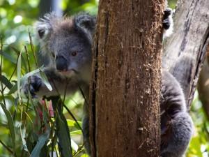 Koala buscando hojas para comer