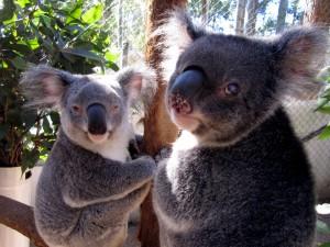 Postal: Dos koalas en un recinto cerrado