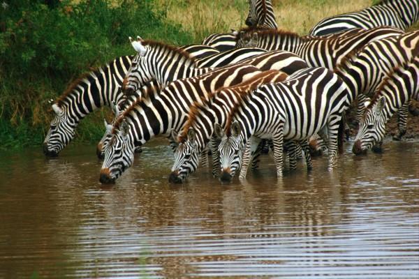 Manada de cebras bebiendo agua