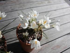 Bonitas flores blancas en unas macetas