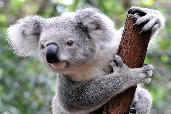 Koala en lo alto de un palo