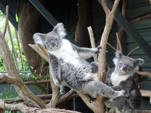 Koalas en un zoo